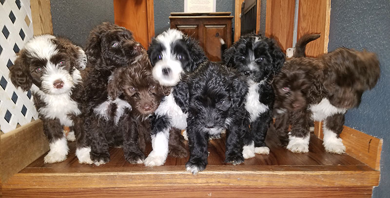 Portuguese Water Dog Puppies Loveland CO